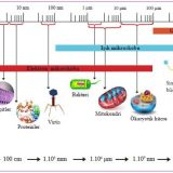 Bazı hücre tipleri ve biyomoleküllerin büyüklükleri