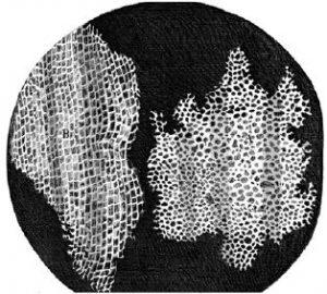 Robert Hooke'un mikroskopta gördüğü mantar dokusu