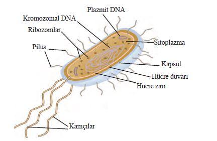 Bakteri hücresi ve kısımları