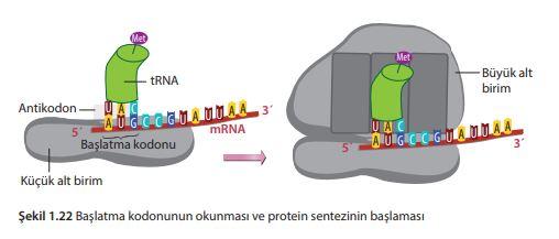 Başlatma kodonunun okunması ve protein sentezinin başlaması