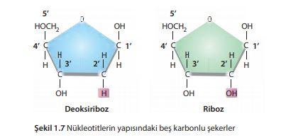 Nükleotitlerin yapısındaki beş karbonlu şekerler