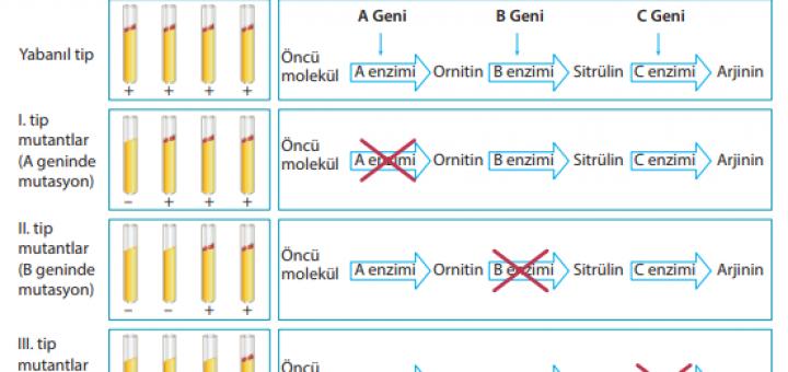 Beadle ve Tatum'un bir gen bir enzim hipotezini ispatladıkları deney