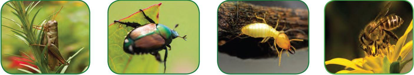 Çekirge Kın kanatlı Termit Arı