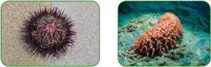 Deniz kestanesi - Deniz hıyarı