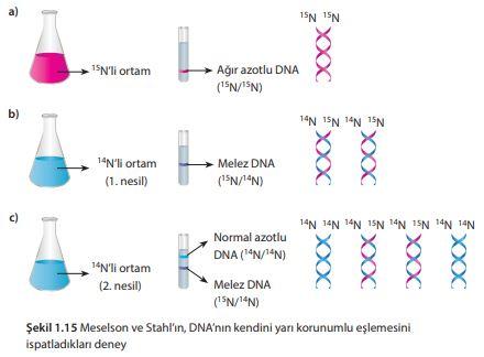 Meselson ve Stahl'ın, DNA'nın kendini yarı korunumlu eşlemesini ispatladıkları deney