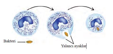 Beyaz kan hücresinde fagositoz
