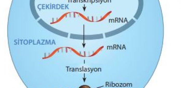 Genetik bilginin mRNA aracılığıyla ribozoma taşınması (Santral dogma)