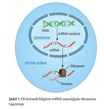 Genetik bilginin mRNA aracılığıyla ribozoma taşınması