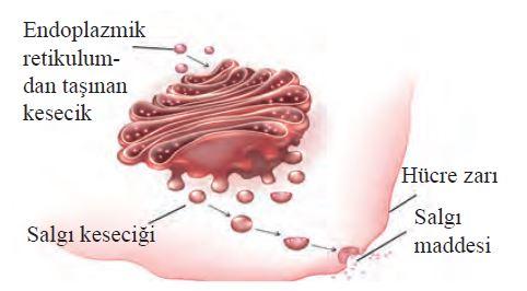 Golgiden üretilen salgı maddesinin hücre dışına salınması