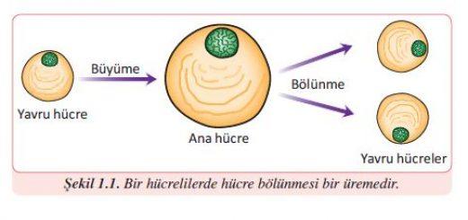 Bir hücrelilerde hücre bölünmesi bir üremedir