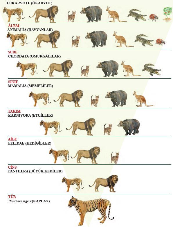 Panthera tigris'in (kaplan) türden başlayarak âleme kadar sınıflandırma şeması