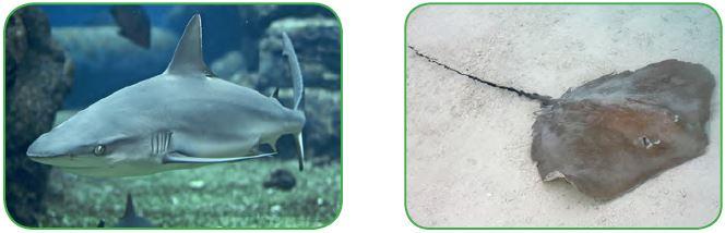 Köpek balığı - Vatoz