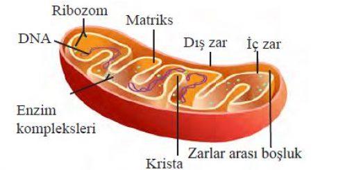 Mitokondri organeli ve çift katlı zar sistemi