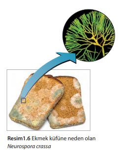 Ekmek küfüne neden olan Neurospora crassa