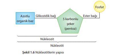 Nükleotitlerin yapısı