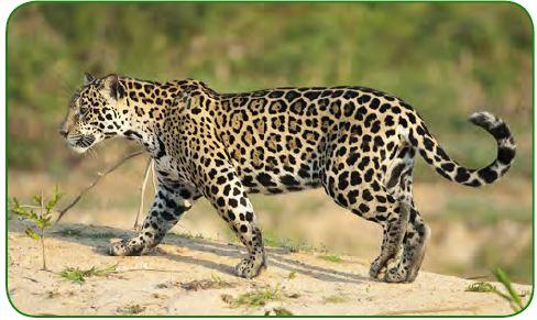 Panthera pardus (leopar)