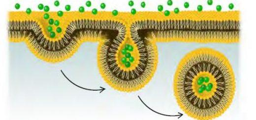 Hücre zarında pinositoz