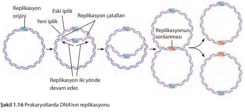 Prokaryotlarda DNA'nın replikasyonu