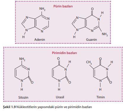 Nükleotitlerin yapısındaki pürin ve pirimidin bazları