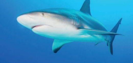 Radar Burunlu Köpek Balığı