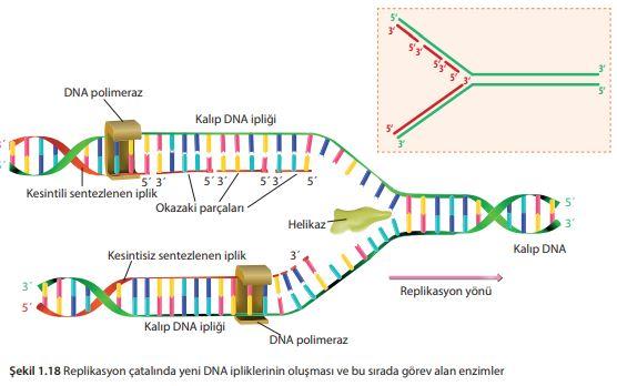 Replikasyon çatalında yeni DNA ipliklerinin oluşması ve bu sırada görev alan enzimler