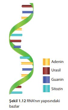 RNA'nın yapısındaki bazlar