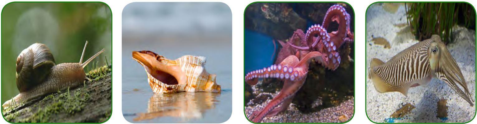 Salyangoz - Midye - Ahtopot - Mürekkep balığı