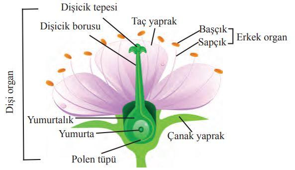 Tam bir çiçeğin kısımları