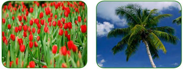 Tek çenekli bitkilerden lale ve palmiye ağacı