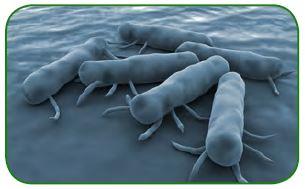 Tifoya neden olan bakteriler