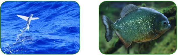 Uçan balık - Pirana