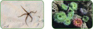Yılansı yıldız - Deniz lalesi