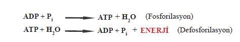 ADP ve ATP'nin birbirine dönüşüm reaksiyonu