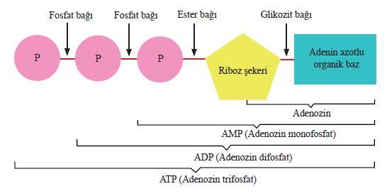 ATP molekülünün sentez basamakları ve kimyasal yapısı