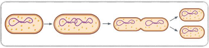 Bakterinin bölünerek üremesi