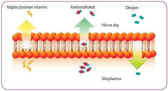Hücre zarında gerçekleşen basit difüzyon