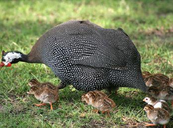 Beç tavuğu ve yavruları