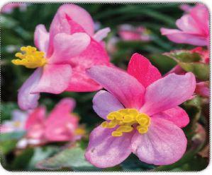 Begonyada dişi çiçek
