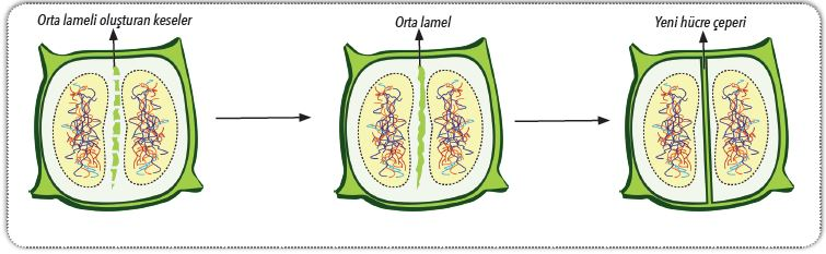 Bitki hücresinde sitokinez