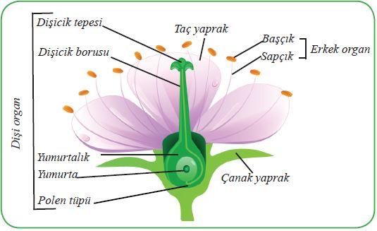 Bitkilerde üreme organı çiçek