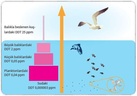 Su ekosisteminde DDT'nin biyolojik birikimi