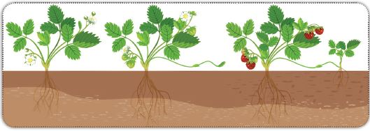 Çilek bitkisinin sürünücü gövde ile üremesi