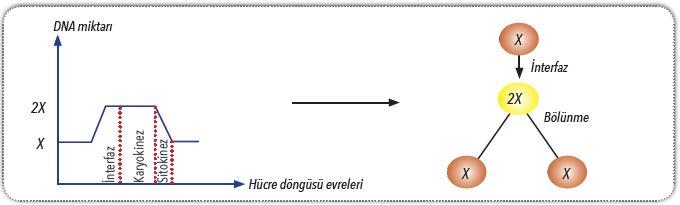 Hücre döngüsünde DNA miktarındaki değişim