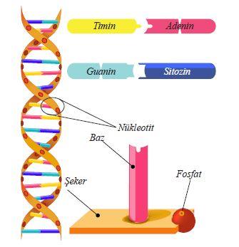 DNA molekülünün ikili sarmal yapısı