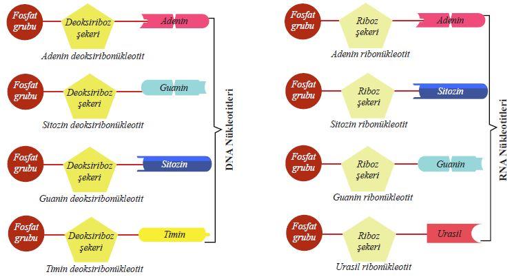 DNA ve RNA'nın yapısında bulunan nükleotit çeşitleri