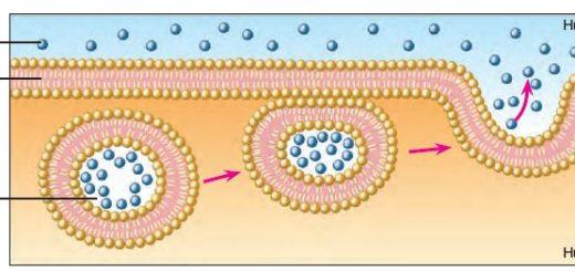 Zardan geçemeyecek büyüklükteki bir salgının ekzositoz ile hücre dışına gönderilmesi