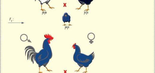 Endülüs tavuklarında tüy rengi ile ilgili çaprazlama