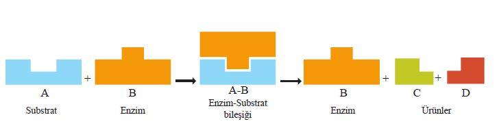 Enzimatik bir reaksiyonun mekanizması