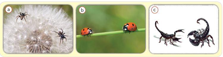 Eşeyli üreyen canlılar örümcek (a), uğur böceği (b), akrep (c)