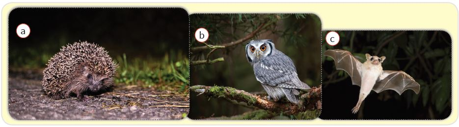 Gece aktif olan canlılar : kirpi (a), baykuş (b), yarasa (c)